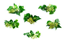 Set Of  Ivy (hedera) Helix Adu...