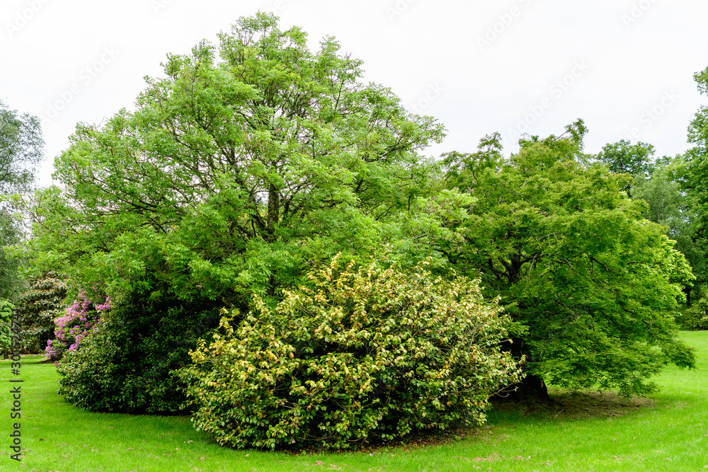 Fototapeta Landscape with wild old green trees and leaves in a Scottish garden in a sunny summer day, photographed with soft focus