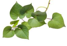 Leaf Of Sweet Potato On White ...