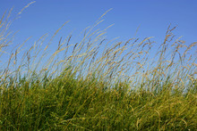 Flowering Long Grass And Blue Sky Backdrop, High Grass On Wind Under Azure Blue Sky In Summer