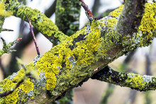 Apple Branch Covered With Lichen. Tree Diseases_