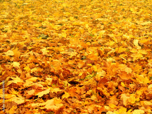 Photo Autumn yellow maple leaves completely cover the ground