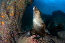 Puppy Sea Lion Underwater Coming To You
