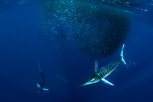 Striped Marlin Hunting In Sardine Bait Ball In Pacific Ocean