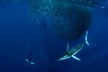 Striped Marlin Hunting In Sard...
