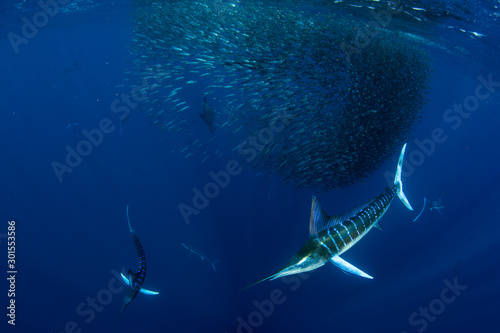 Striped marlin hunting in sardine bait ball in pacific ocean Wallpaper Mural