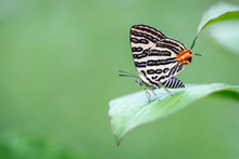 Silver Butterfly On A Leaf In A Green Background.