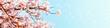 Leinwanddruck Bild - 美しく満開に咲き誇る一本の桜とコピースペースの青い空とキラキラ
