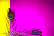 canvas print picture - peacock feathers copy space,pink background,yellow background,two peacock tail,with empty place for your text, written text space,peacocks