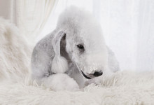 Purebred Bedlington Terrier Do...