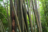 Groove of young bamboo tree with leaves, Full frame shot of bamboo trees (pohon bambu)   Taken in Sibolangit, Indonesia