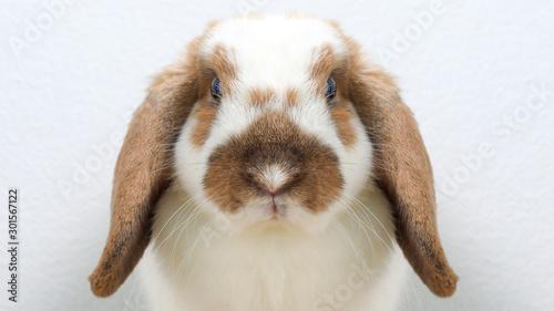 Fototapeta Lovely bunny easter brown rabbit on wooden table