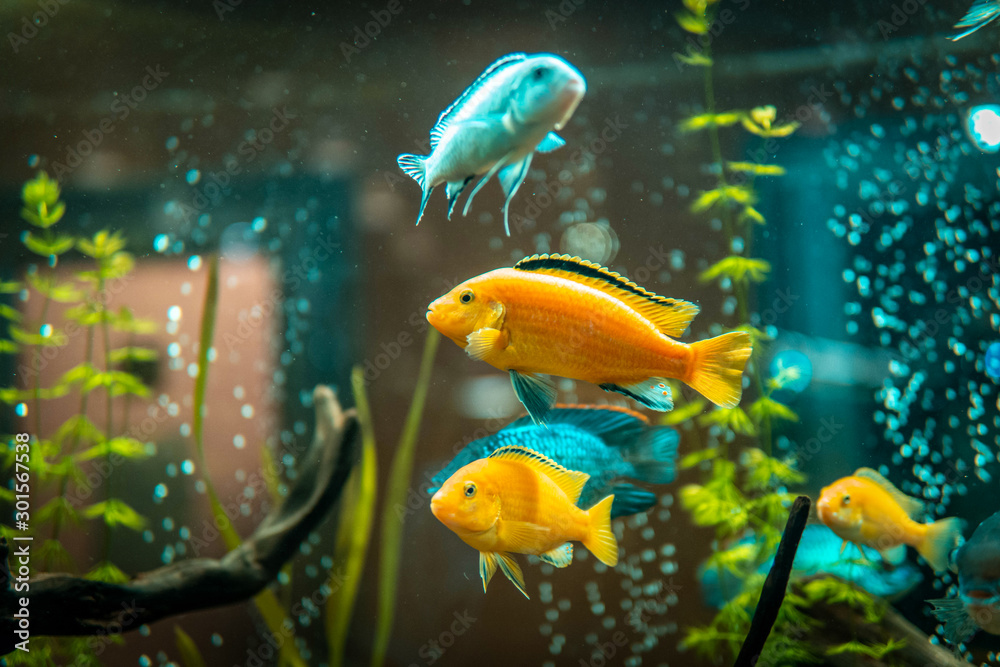Fototapety, obrazy: Goldfish in freshwater aquarium with green beautiful planted tropical. fish in freshwater aquarium with green beautiful planted tropical.  Colorful fish on green background.