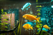 Goldfish in freshwater aquarium with green beautiful planted tropical. fish in freshwater aquarium with green beautiful planted tropical.  Colorful fish on green background.