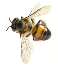 A Bee Isolated On The White Ba...