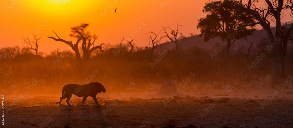 Fototapeta male lion walking into the sunrise