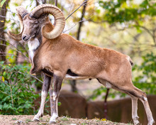 A Urial Mountain Goat Ram Strikes A Pose