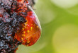 Leinwanddruck Bild - Raw red resin on apricot tree with green background