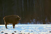 Aurochs Bison In Nature / Wint...