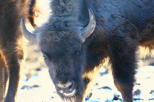 Fotografie, Obraz  Aurochs bison in nature / winter season, bison in a snowy field, a large bull bu
