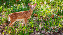 A Young Deer Fawn Standing On ...