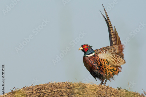 Photo  Beautiful male pheasant in grass