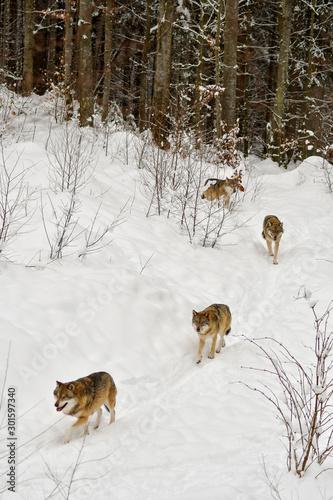 Wolfsrudel #301597340