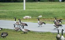 Canada Geese Walking Across A ...