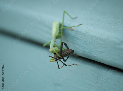 A praying mantis eating a large black insect. Canvas-taulu