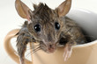 Leinwanddruck Bild - Mouse with wet hairs inside beige mug
