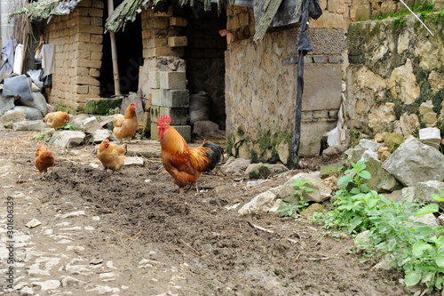 Chickens walking outside old organic farm Canvas Print