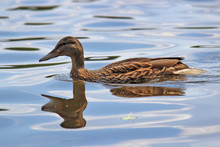 A Large Beautiful Duck Floats On The Smooth Surface Of A Blue Lake