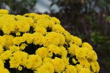 Yellow Mums. Yellow Fall Mums. Yellow Mums In Autumn.