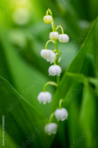 Poster de jardin Muguet de mai Spring flower lily of the valley close-up