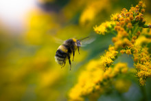 Bumblebee Collects Flower Nect...