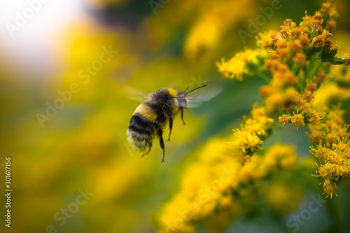 Foto bumblebee collects flower nectar of goldenrod