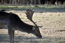 Flat Horn Deer