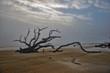Dead Tree on Beach