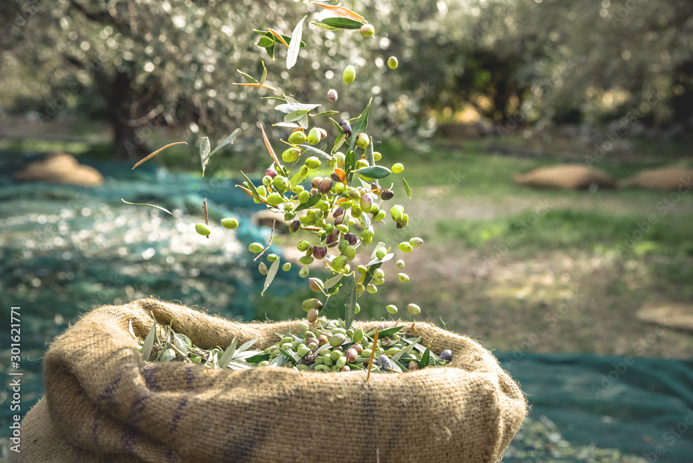 Fototapety, obrazy: Harvested fresh olives in sacks in a field in Crete, Greece for olive oil production, using green nets.