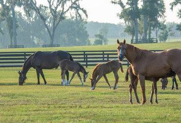 Thoroughbred horse mares and foals in paddock