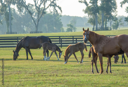 Fototapeta Thoroughbred horse mares and foals in paddock obraz