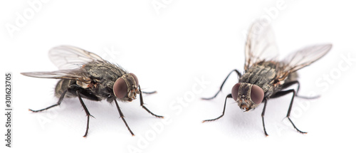 Fotomural fly isolated on a white