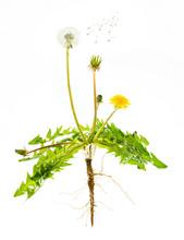 Dandelion Plant (Taraxacum Sp....