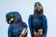 Lear's Macaw (Anodorhynchus Lear) Is Standing On The Branch.