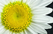 Leinwandbild Motiv Close view of Shasta daisy (Leucanthemum superbum) blossom. Each yellow hexagonal segment will open as a distinct flower. Pattern of the unopened flowers displays a Fibonacci sequence.