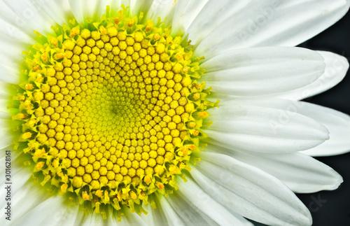Close view of Shasta daisy (Leucanthemum superbum) blossom Wallpaper Mural