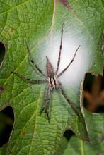 Funnel Weaver/grass Spider ( (...