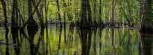 Panoramic View Of Virgin Swamp Forest Of Bald Cypress (Taxodium Distichum) And Water Tupelo (Nyssa Aquatica) In The Nature Conservancy's Blackwater River Preserve In Southeastern Virginia.