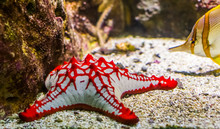 African Red Knob Sea Star In C...