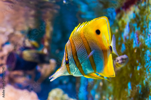 Valokuva beautiful closeup of a copperband butterflyfish, tropical fish specie from the p